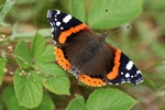 Red Admiral (Vanessa atalanta)